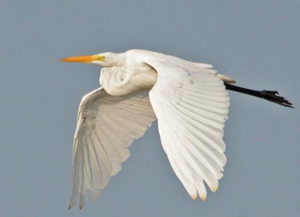 Great Egret 2018-55