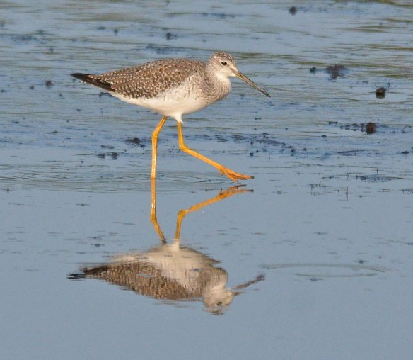 Greater Yellowlegs 2018-14