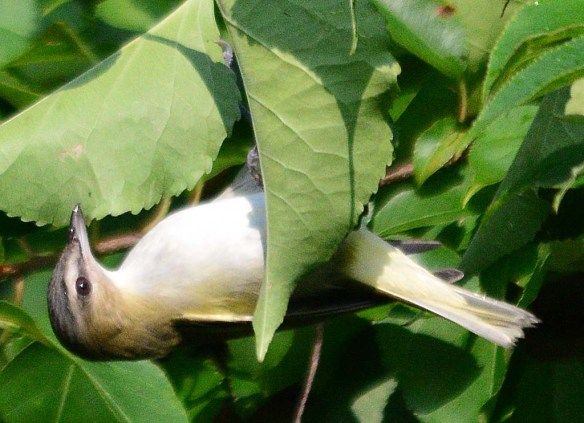 Red Eyed Vireo 2018-2