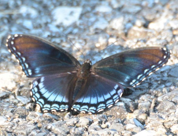 Red Spotted Purple 14