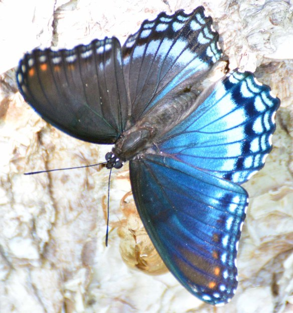 Red Spotted Purple 15