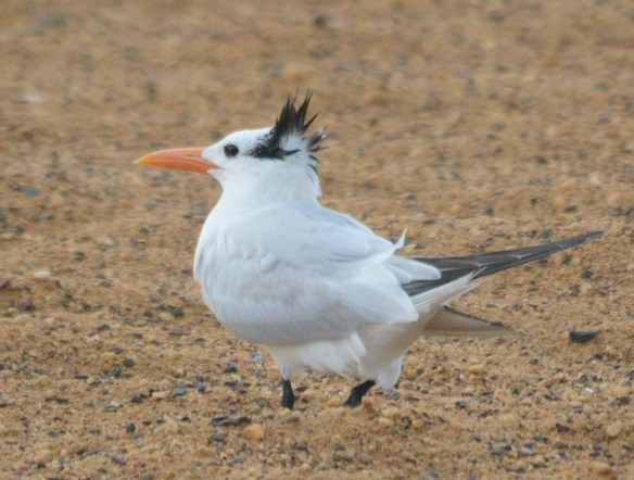 Royal Tern 2018-2