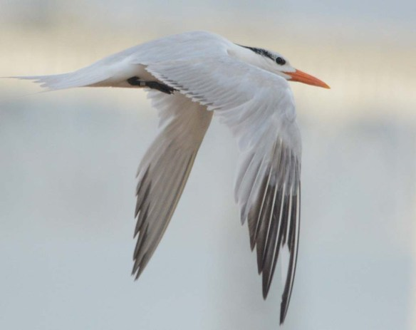 Royal Tern 2018-3