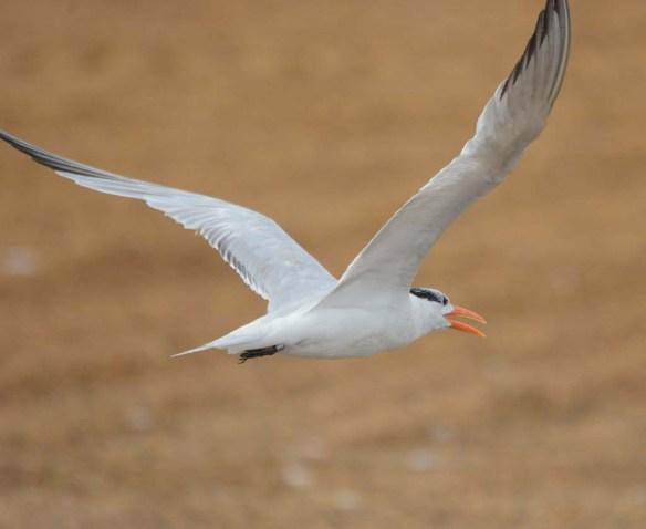 Royal Tern 2018-6