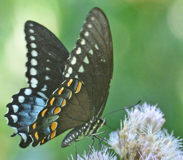 Spicebush Swallowtail 32