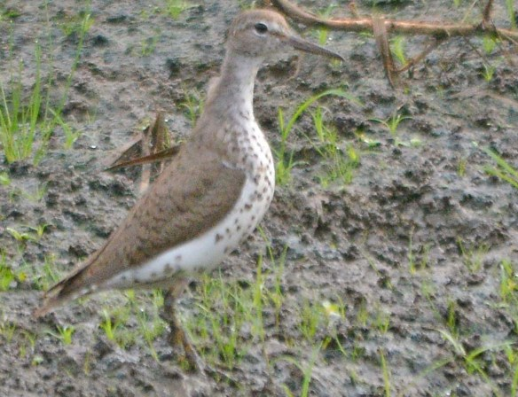 Spotted Sandpiper 2018-9