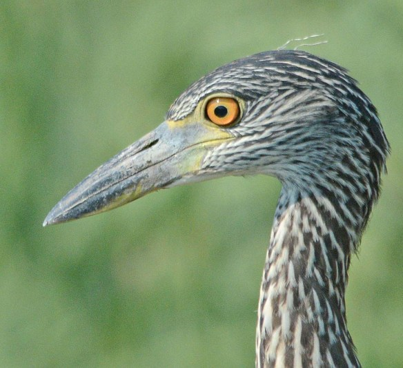 Yellow Crowned Night Heron 2018-6