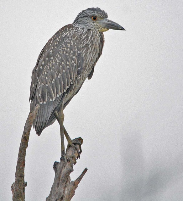Black Crowned Night Heron 2018-10
