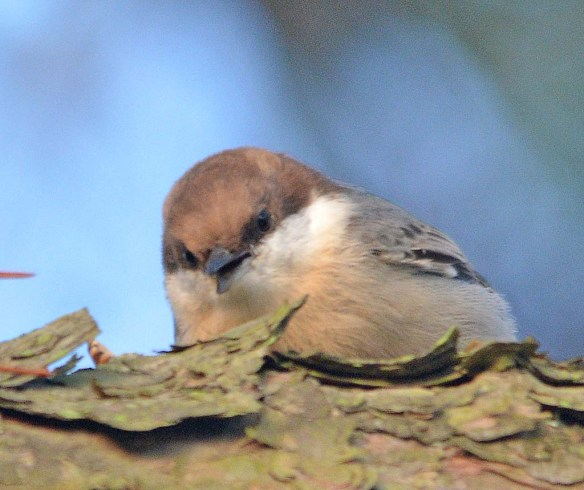 Brown Headed Nuthatch 2018-2