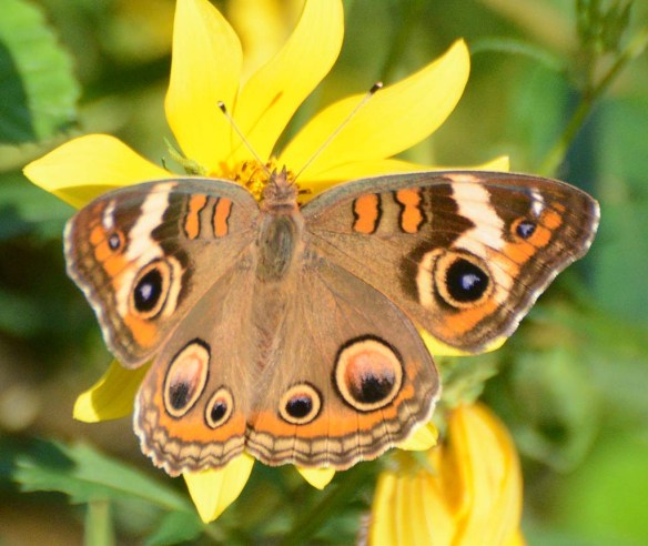 Common Buckeye 17