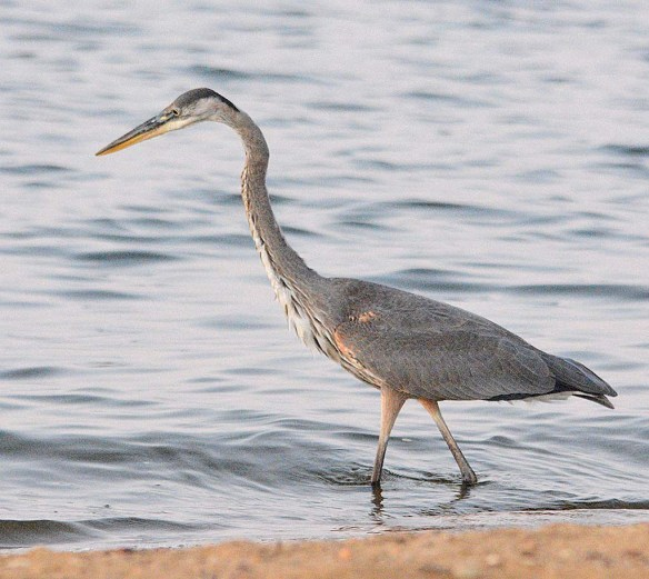Great Blue Heron 2018-69