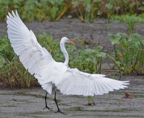 Great Egret 2018-62