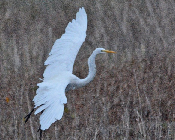 Great Egret 2018-86