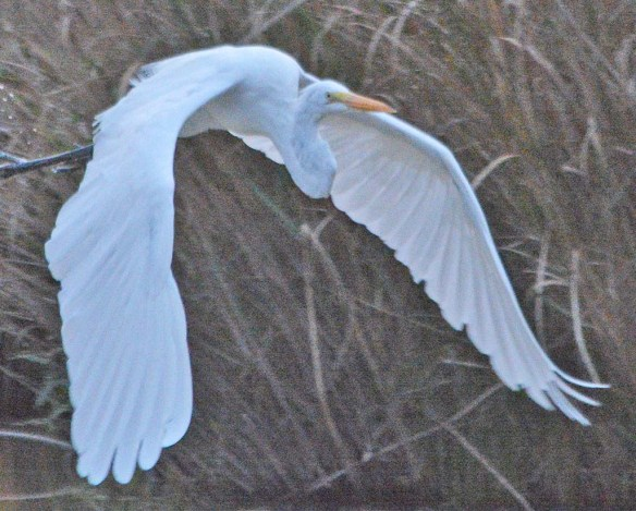 Great Egret 2018-88