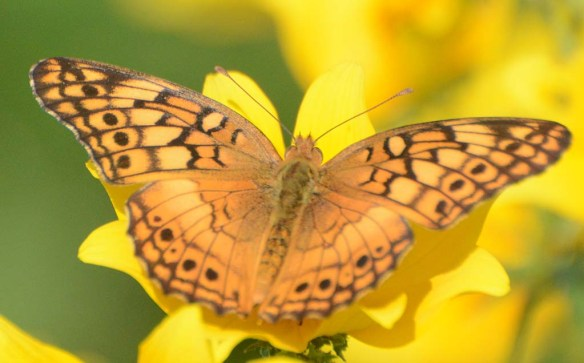 Great Spangled Fritillary 6