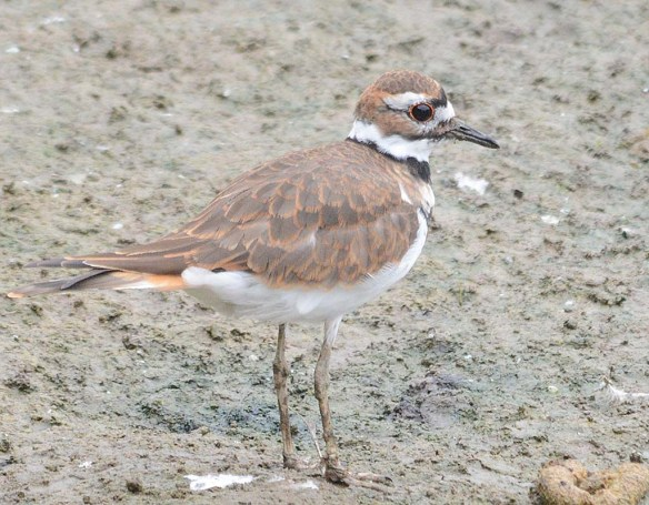 Killdeer 2018-4