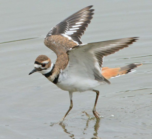 Killdeer 2018-6