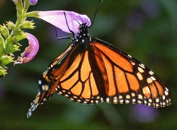 Monarch 62