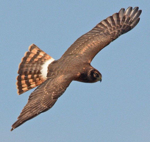 Northern Harrier 2018-5