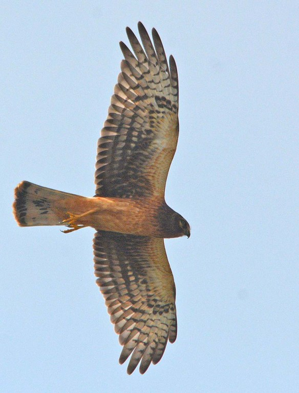Northern Harrier 2018-6