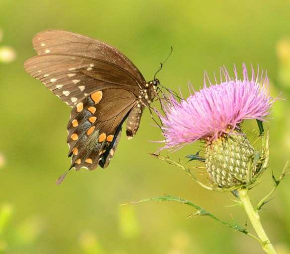 Red Spotted Purple 17
