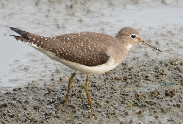 Spotted Sandpiper 2018-11