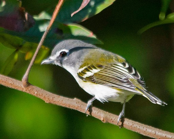 Blue Headed Vireo 2018-1
