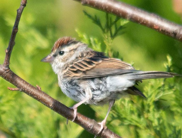 Chipping Sparrow 2018-9