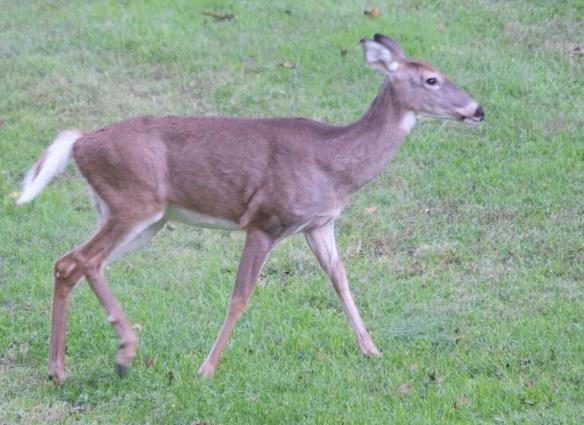 Deer-71