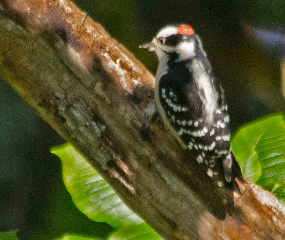 Downy Woodpecker 2018-9