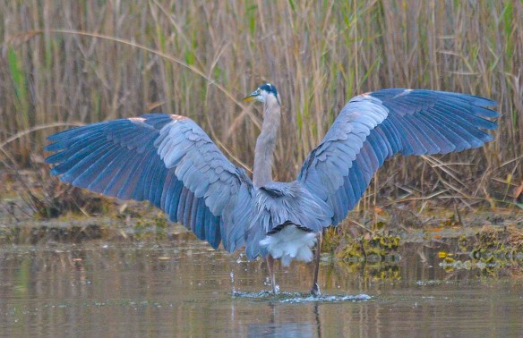 Great Blue Heron 2018-84
