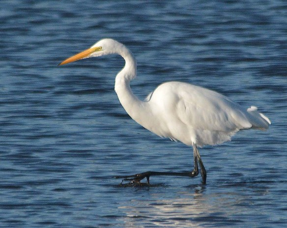 Great Egret 2018-100