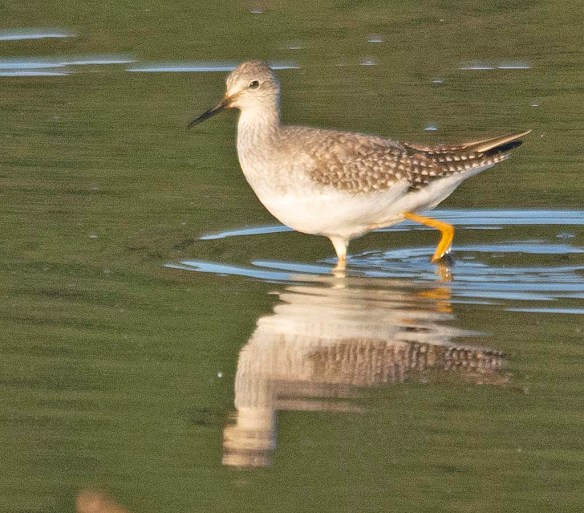 Greater Yellowlegs 2018-16