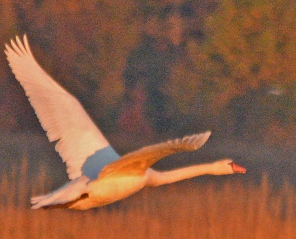 Mute Swan 2018-11
