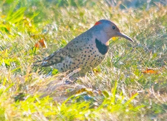 Northern Flicker 2018-6