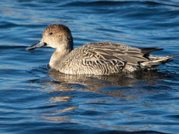 Northern Pintail 2018-17
