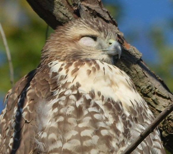 Red Tailed Hawk 2018-8