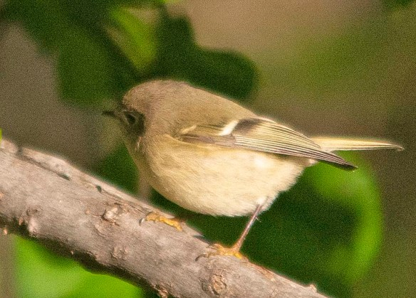 Ruby Crowned Kinglet 2018-1