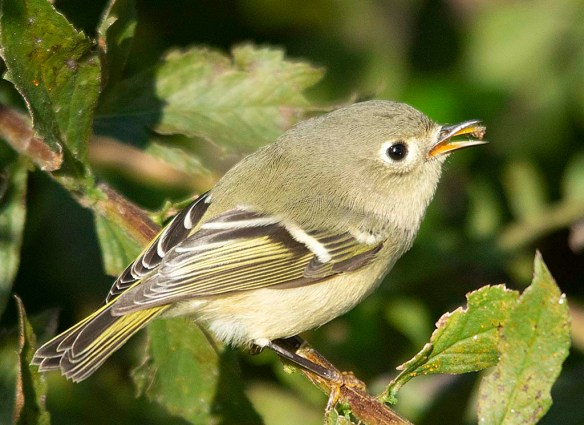 Ruby Crowned Kinglet 2018-5