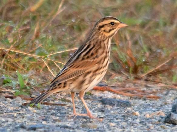 Savannah Sparrow 2018-2