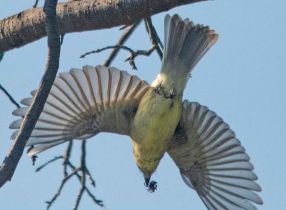 Tennessee Warbler 2018-4