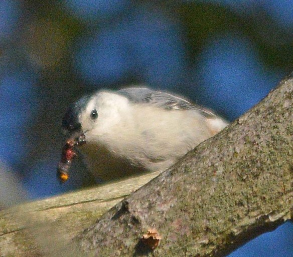 White Breasted Nuthatch 2018-1