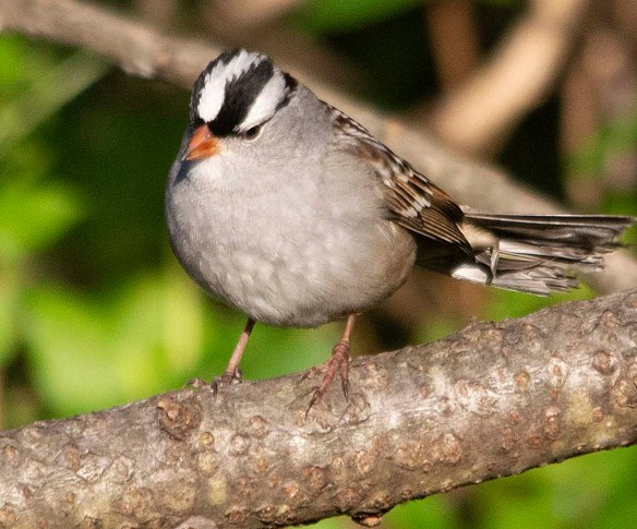 White Crowned Sparrow 2018-3