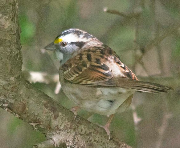 White Throated Sparrow 2018-3