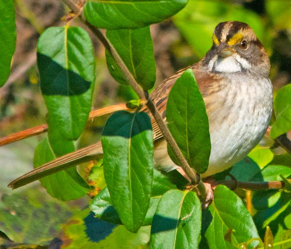 White Throated Sparrow 2018-6