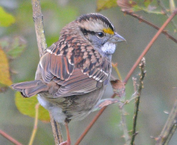 White Throated Sparrow 2018-7