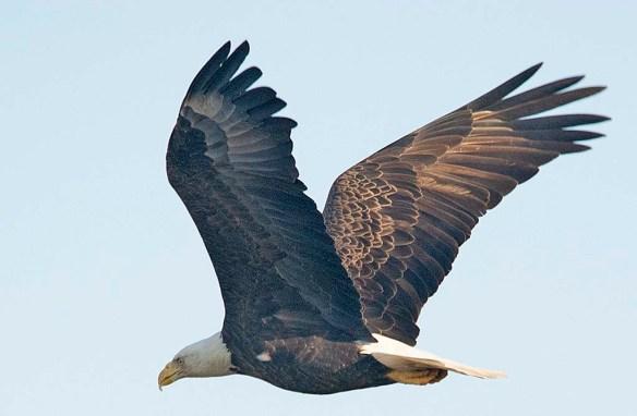 Bald Eagle 2018-74