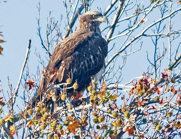 Bald Eagle 2018-80
