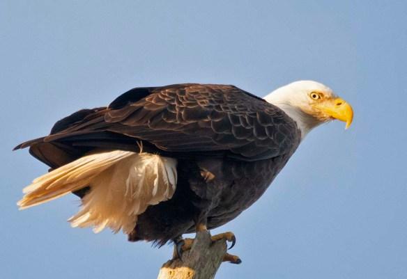 Bald Eagle 2018-84