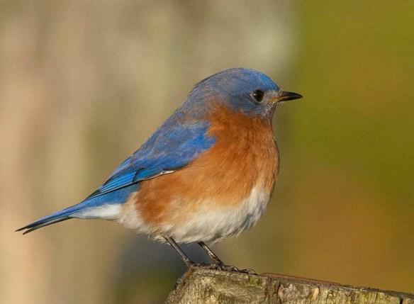 Eastern Bluebird 2018-13